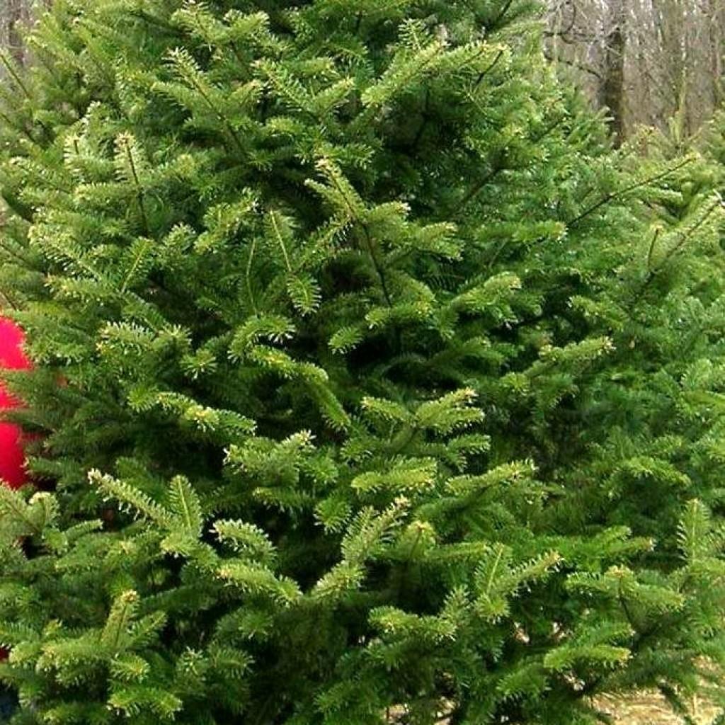Virginia Christmas Trees